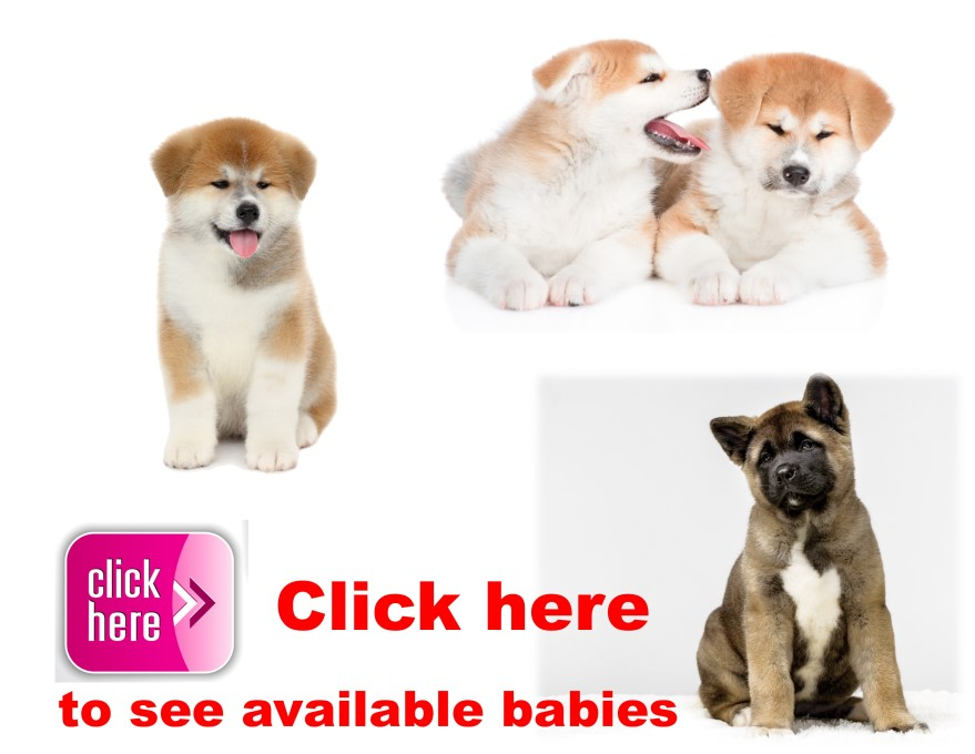 Akita, puppy, puppies, kennels, breeder, breeders, puppies for sale, for, sale, adoption, she